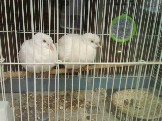 Two white doves in a white and blue cage